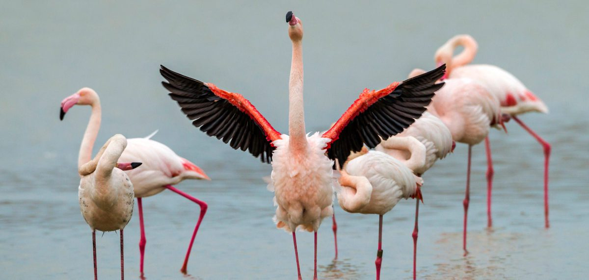 Flamingo with wings spread